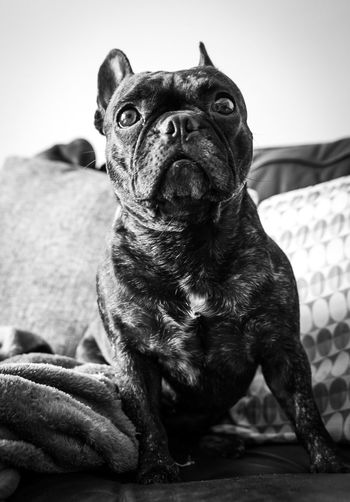 Looking up One Animal Pets Dog Domestic Animals Mammal Animal Themes Sitting Portrait No People Looking At Camera Indoors  Day Full Length Close-up Pet Photography  Pets Corner Black And White Dogs Of EyeEm Frenchbulldog