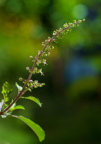 Thai holy basil / กะเพรา [ kaphrao ] Herb Thai Cuisine Thai Holy Basil Beauty In Nature Close-up Day Flower Focus On Foreground Fragility Freshness Green Color Growth Herbal Herbal Medicine Leaf Nature No People Outdoors Plant