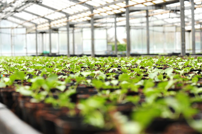 Cultivation of flower plants in greenhouse under transparent roof. Viewed from low angle in close-up selective focus perspective Growth Hothouse Plants Agriculture Botany Climatic Cultivation Floriculture Glasshouse Green Color Greenhouse Greenhouse Plants Growth Horticulture In A Row Indoors  Leaf Nature Plant Plant Nursery Pots Seedings