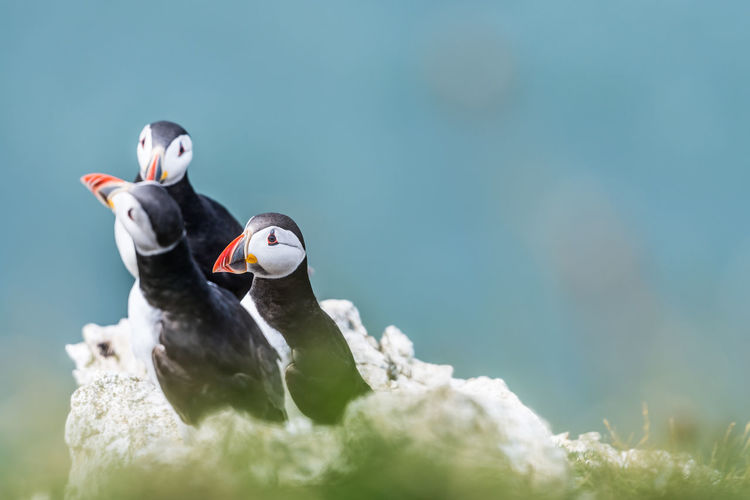 Bempton Cliffs Bird Photography Cliffs Puffin Animal Wildlife Animals In The Wild Bird Close-up Day Nature No People Outdoors Seabird Seabirds Moments Of Happiness