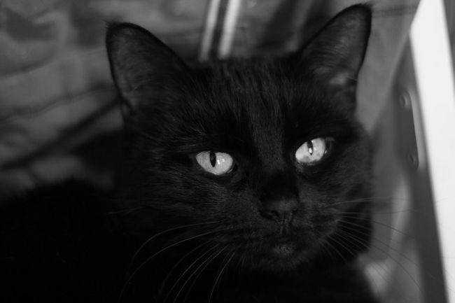 Mycat♥ Blackandwhite Animal Portrait Cat