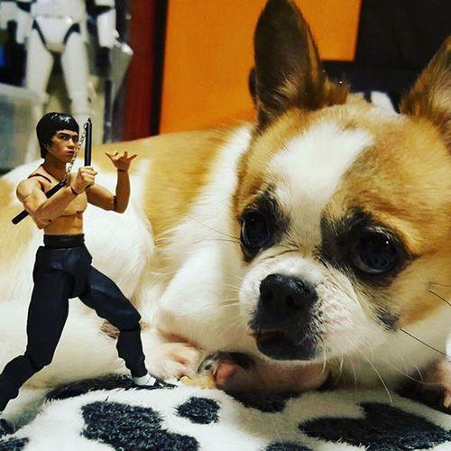 曱甴))))))))) Dog Chihuahuainstagram Chihuahua Brucelee Pet Kungfu  Toy Toys Petsofinstagram Petstagram Dogsofinstagram Dogstagram Doglover 功夫 Instapet Instadog Instatoys Ighk InstaHK Hkig