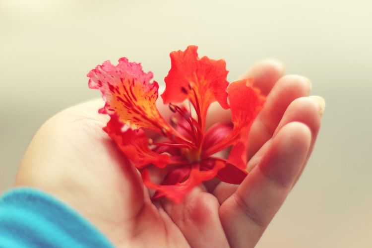 Phuong vi - the flower whose blooming indicates the seperation of the student life Hoaphuong Flowerporn Red Flower In My Hand Seperation Goodbye Student Life Saigon Vietnam
