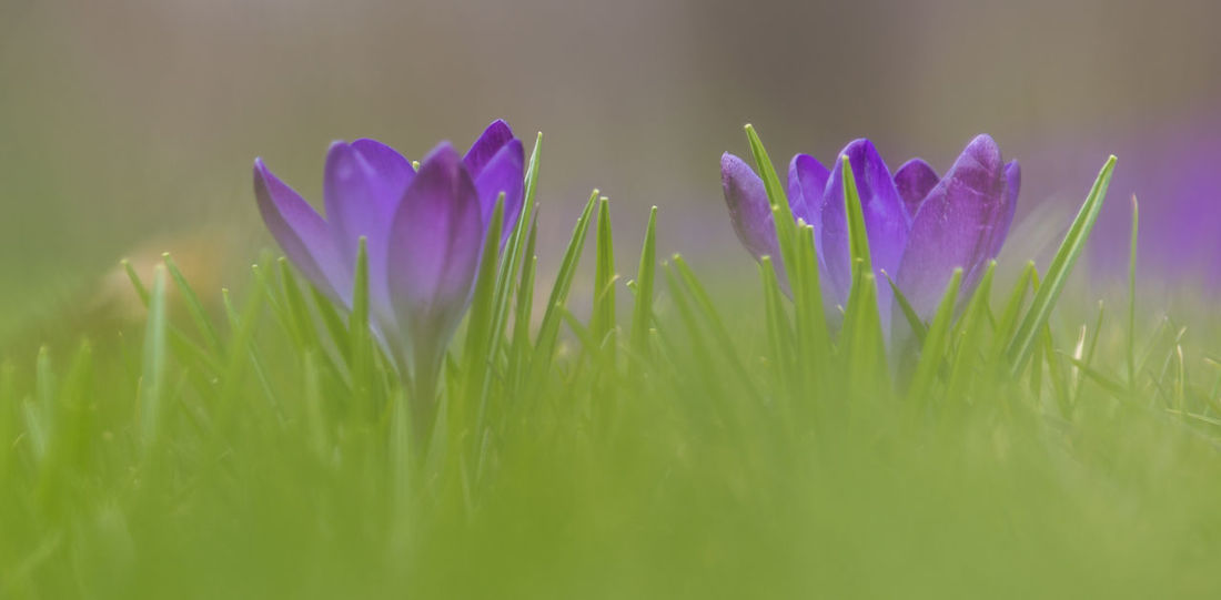 00d599f9e9 Close-Up Of Purple Crocus Blooming Outdoors