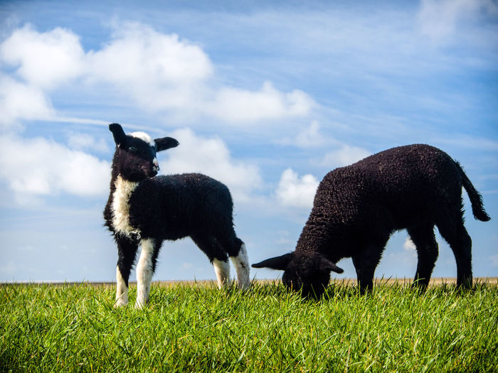 lambs high