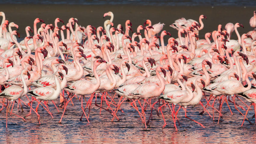 Group of lesser flamingos (Phoeniconaias minor), Walvis bay, Namibia Bird Photography Colored Flock Flock Of Birds Lesser Flamingo Namibia Nature Phoeniconaias Minor Pink Swakopmund Walvis Bay Wildlife & Nature Africa Animal Animals Bird Birds Flamingo Group Herd Large Group Of Animals Many Pink Color Wild Wildlife