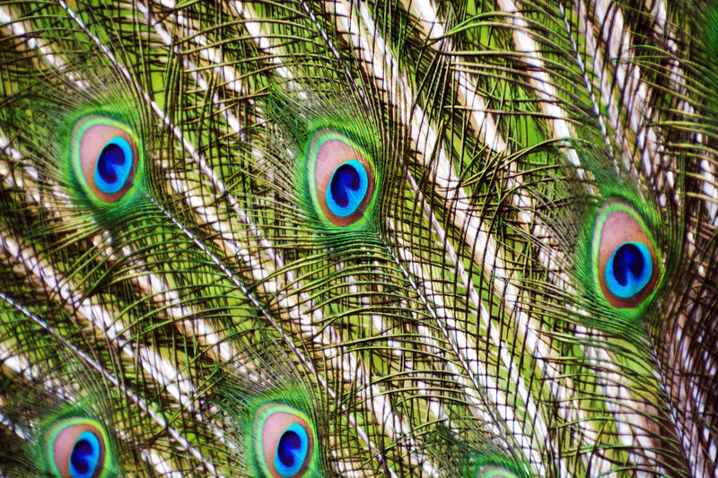 Phuket,Thailand Beauty In Nature Peacock Peacock Colors Close-up Nature Art Colors