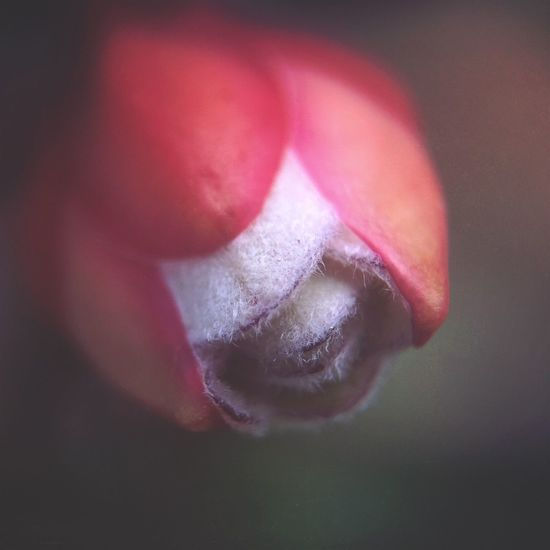 Restored    Psalm 71:20-21    221/366 I didn't do a photo on day 220 because of personal circumstances. IPhoneography Iphoneonly Olloclip Olloclip_macro Macro Macro_collection Macro Photography Macro Beauty Flowers Flower Flowers,Plants & Garden Pohutukawa Bud Flower Buds Spring Nature Nature_collection Nature Photography 365project Mextures Pink Flower Garden Depth Of Field Garden Photography Ladyphotographerofthemonth