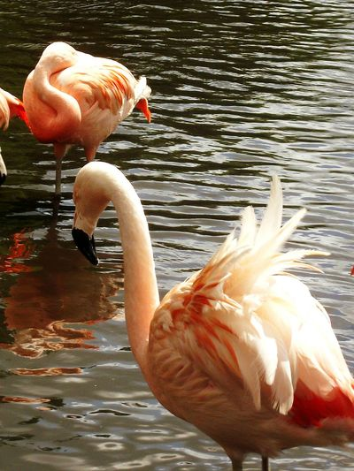 Martin Mere Flamingos Flamingoes Reflections Water Water Reflections Walking Around EyeEm Nature Lover EyeEm Birds