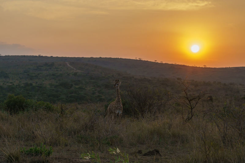 First picture of my trip to South Africa - more coming soon...Giraffe standing in the sunset of Hluhluwe-iMfolozi-Park, South Africa Giraffe South Africa Travel Animal Themes Animal Wildlife Animals In The Wild Beauty In Nature Day Eye4photography  Eyeemnaturelover Grass Landscape Mammal Nature No People One Animal Outdoors Scenics Sky Sony A6000 Sun Sunlight Sunset Travel Destinations Tree The Week On EyeEm The Great Outdoors - 2018 EyeEm Awards