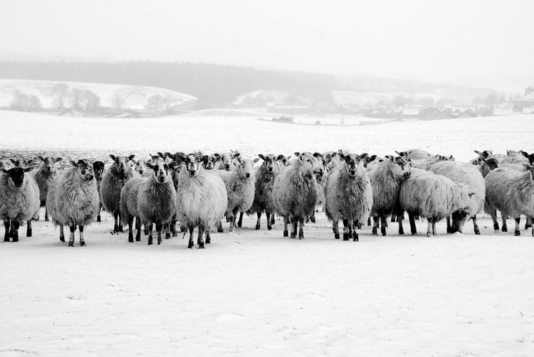 Flock Of Sheep On Snow Covered Landscape