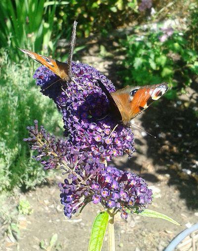 Ein Schmetterlingsstrauch in unserem Garten