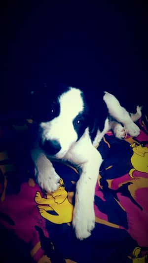 Border Collie Puppy Cute Beautiful Perfect Puppy Adorable Fine Art Photography