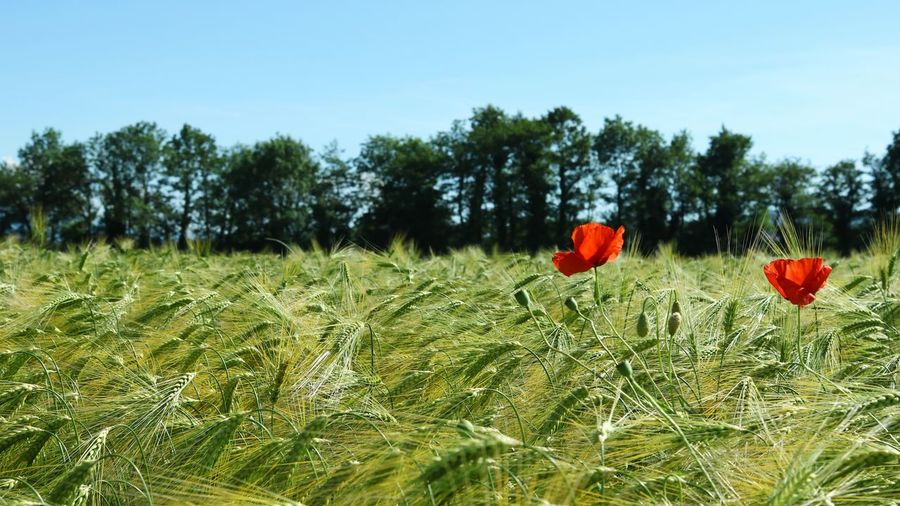Poppies and