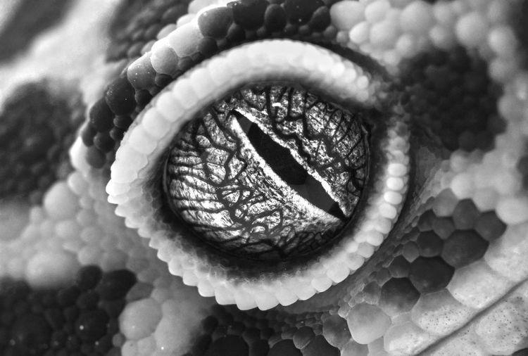 Close shot of Eublepharis macularius eye Leopard Gecko Reptile Animal Themes B/w Black And White Close-up Eublepharis Macularius Herpetology Looking Macro Monochrome Pet Sharp Spooky White