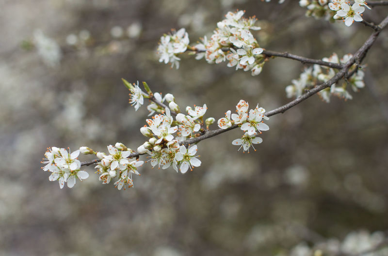 Flower Flowering Plant Plant Freshness Fragility Vulnerability  Growth Beauty In Nature Tree Blossom Springtime Nature Close-up Branch Focus On Foreground Day No People Petal White Color Outdoors Flower Head Cherry Blossom Cherry Tree Spring Springtime Decadence