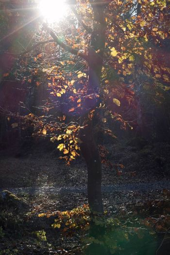 Autumn Beauty In Nature Branch Change Day Environment Forest Growth Land Nature No People Outdoors Plant Plant Part Scenics - Nature Streaming Sunlight Tranquility Tree Tree Trunk Trunk