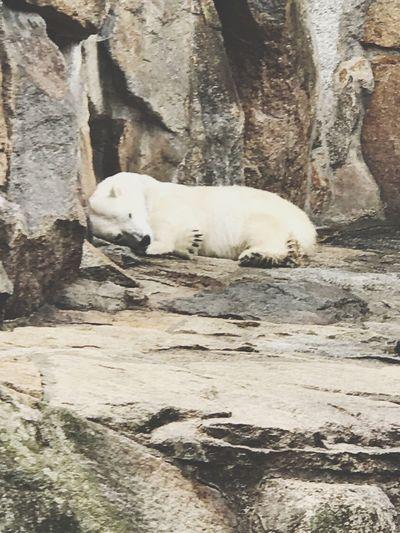 ZooBerlin Eisbär