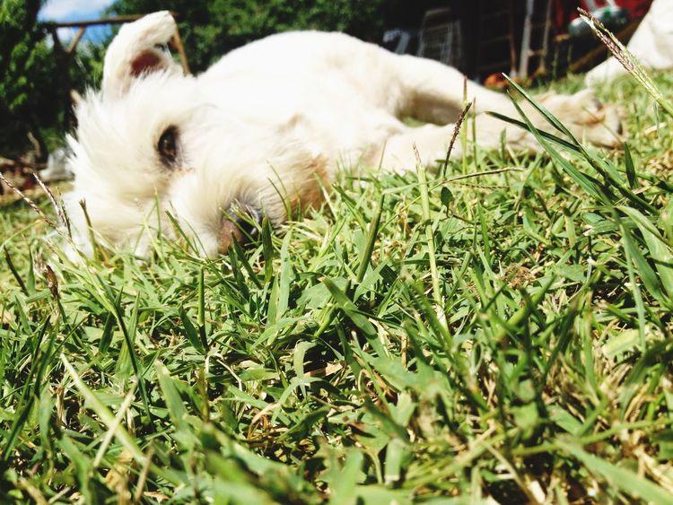 I Love My Dog Sweet♡ Cute♡ Taking Photos Westie White My Dog My Sweetie