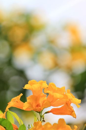 Yellow flowers on the bokeh background Ornamental Flowers Bloom Bouquet Outdoor Bright Eco Fragility Yellow Green Flower Beautiful Summer Petal Art Floral Nature Natural Boogie Flower Flower Head Close-up Plant Flowering Plant Plant Life Blooming In Bloom Botany Blossom Petal Botanical Garden
