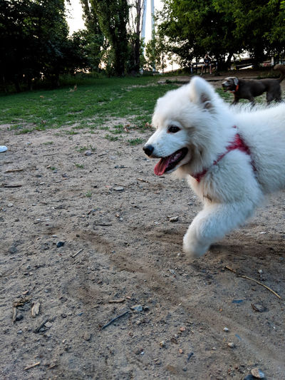 dog running by Animal Animal Themes Canine Day Dog Domestic Domestic Animals Land Looking Looking Away Mammal Mouth Mouth Open Nature No People One Animal Panting Pets Plant Pomeranian Tree Vertebrate White Color