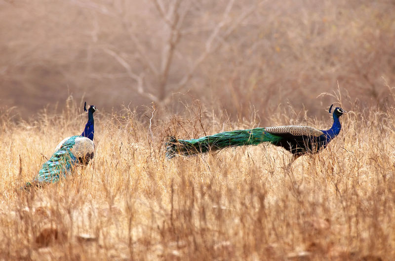 Two peacocks on a field in indian national park