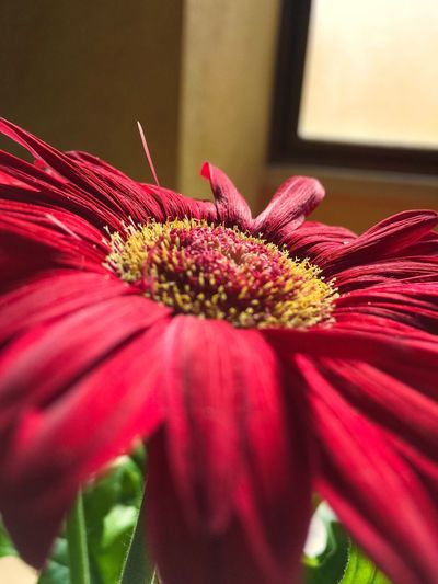Flower Petal Red Beauty In Nature Pollen Fragility Daisy