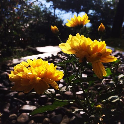 TakeoverContrast Flowers Yellow Flower Yellow Shadow Shadows & Lights Sunlight And Shadow Sunlight IPhoneography Nature Beautiful Nature