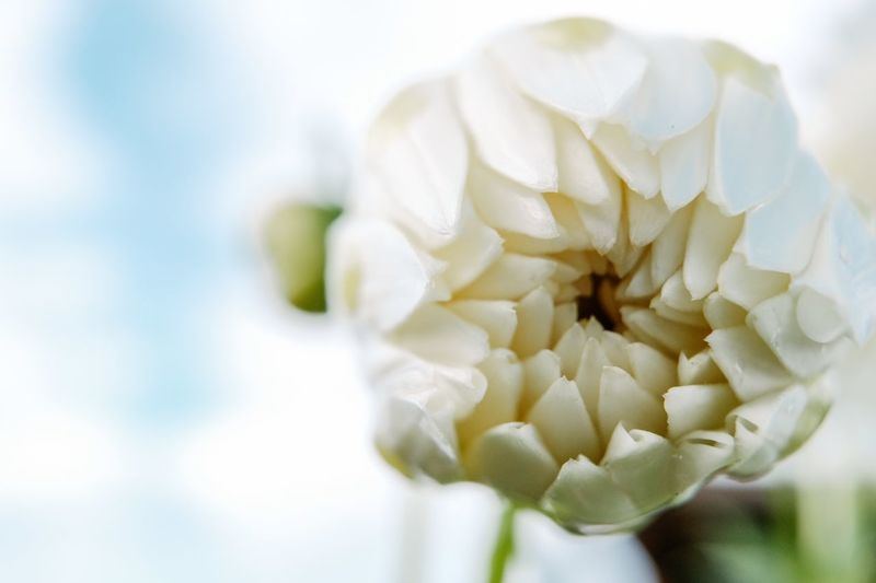 White Color White Flowering Plant Flower Close-up Beauty In Nature Plant Vulnerability  Fragility Freshness Petal Inflorescence Nature White Color Flower Head No People Focus On Foreground Growth Outdoors Botany Day Softness
