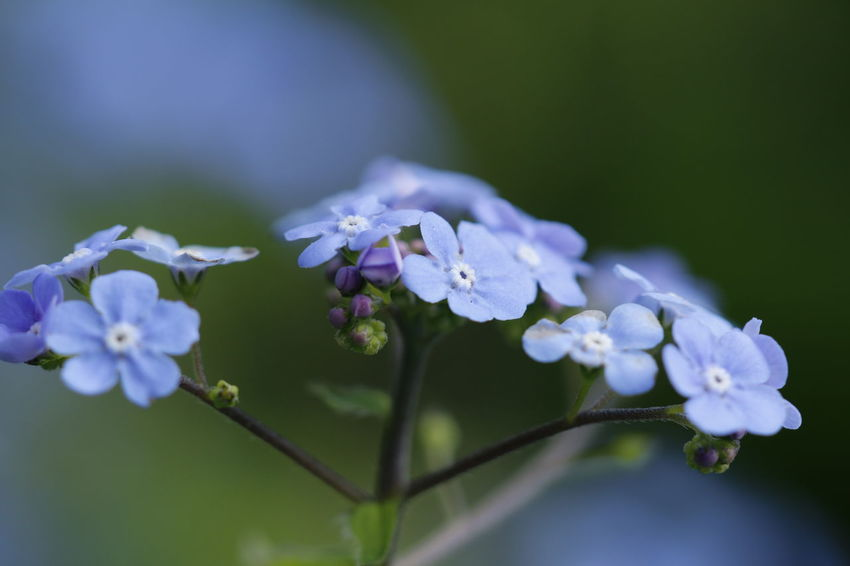 Forget me nots beautiful blue flowers Flowers,Plants & Garden Macro Photography Nature Nature Photography Beauty In Nature Blue Close-up Day Flower Flower Collection Flower Head Flowerporn Flowers Flowers, Nature And Beauty Forget Me Not Forget Me Nots Fragility Freshness Growth Macro Nature Nature_collection No People Outdoors Plant