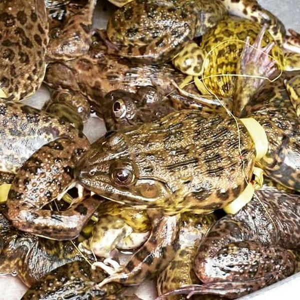 Bullfrogs Frogs Vietnam Vietnamese Food Vietnamese