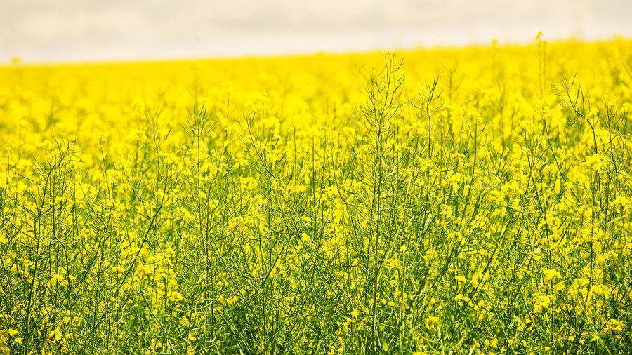 Yellow Rural Scene Land Landscape Field Agriculture Crop  Plant Environment Beauty In Nature Growth Oilseed Rape Nature Tranquility Flower Farm Flowering Plant No People Green Color Scenics - Nature Outdoors Springtime Plantation Colza Canola Blooming Spring