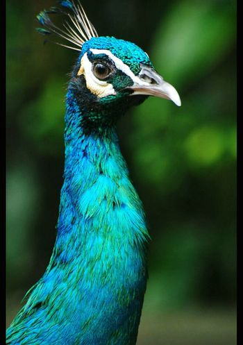 Peacock Pavone павлин  Animal Animal Portrait Animalphotography Animals In The Wild Bird Photography Animali ♥ Blue-green Colors One Of My Favorite Pictures  Natural Beauty Nature_perfection Natural Colours Malaysia Kuala Lumpur Nationalpark
