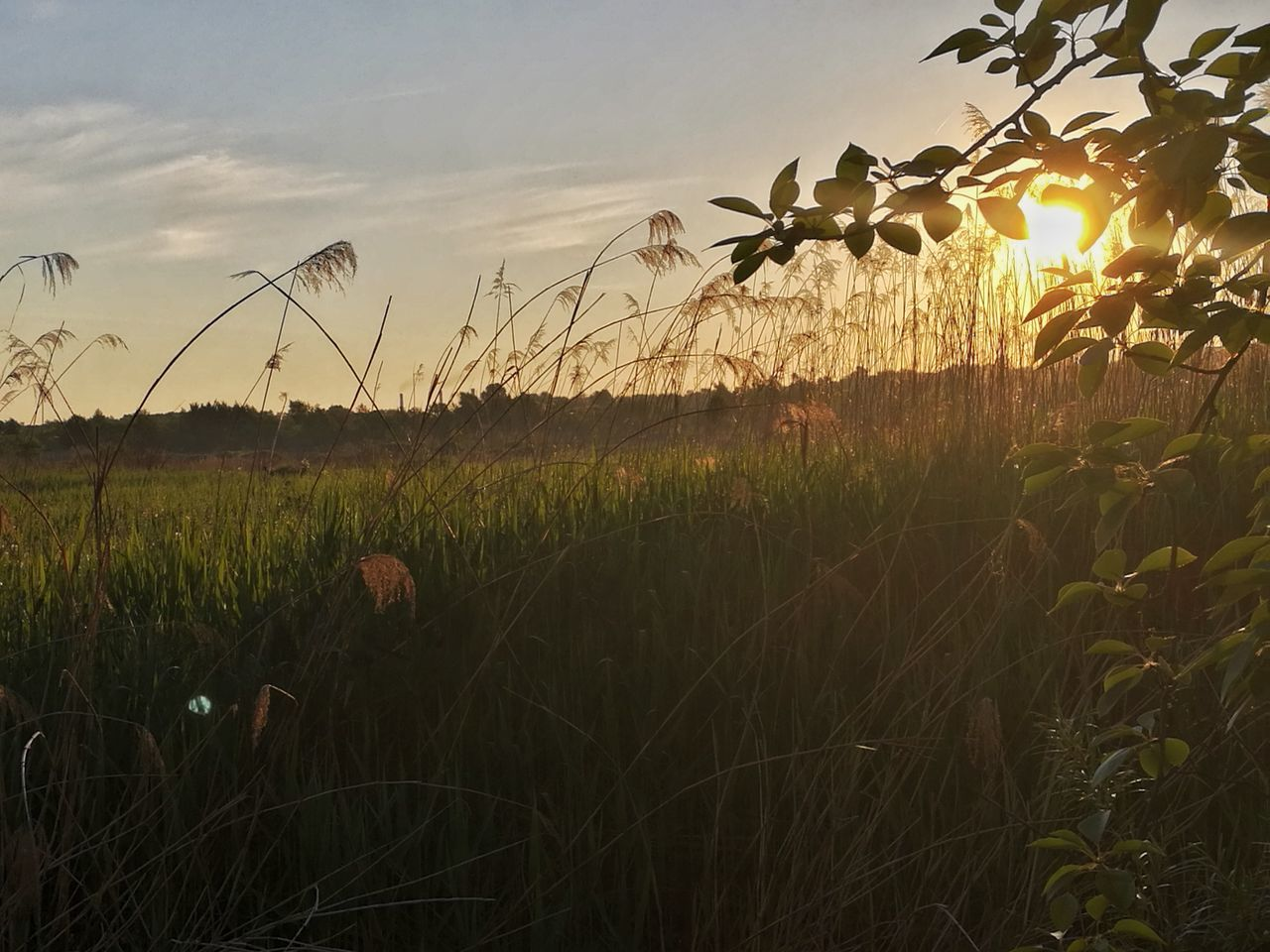 growth, grass, field, plant, nature, agriculture, tranquility, outdoors, no people, tranquil scene, crop, beauty in nature, cereal plant, scenics, rural scene, sky, sunset, day, tree, freshness, close-up