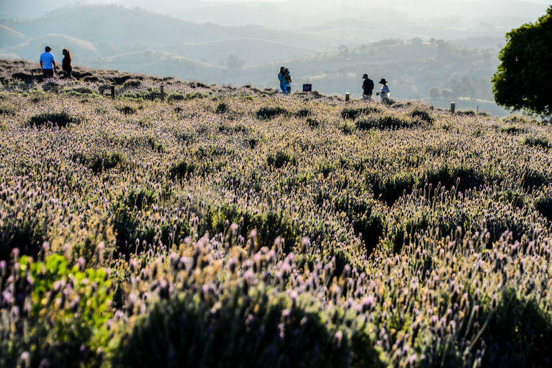 ezefer Adult Agriculture Beauty In Nature Cunha Day Field Freshness Growth Landscape Lavanda Lavanda Field Lavandario Leisure Activity Lifestyles Men Mountain Mountains Nature Outdoors People Person Plant Real People Scenics Water
