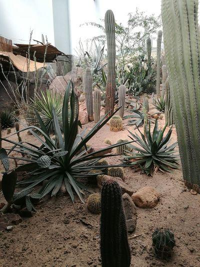 Cactus Plants Growing On Landscape