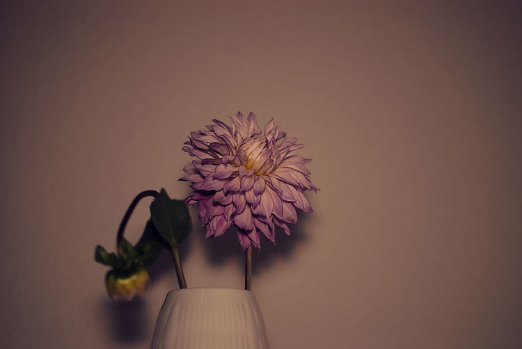 Close-up of pink dahlia in vase against wall