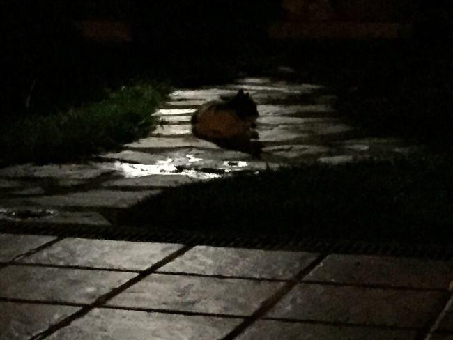 Cat moonlight cat