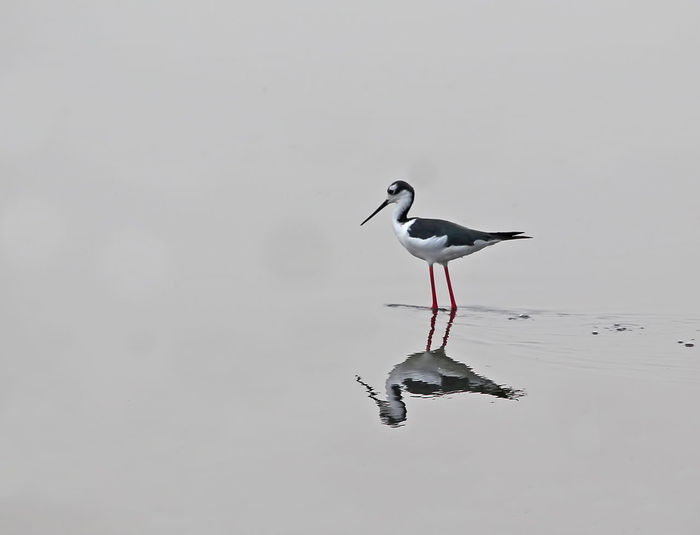 A Black Necked Stilt patiently waits for dinner Solitary Waiting Animal Themes Animal Wildlife Animals In The Wild Beauty In Nature Bird Black Necked Stilt Day Nature No People One Animal Outdoors Perching Pink Legs Reflections Wader Birds Watching Water