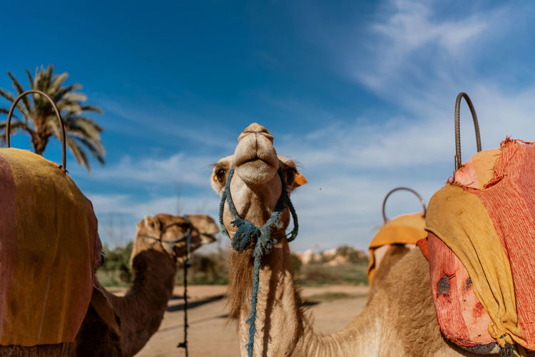 Marrakesh Marrakech Morocco Travel Destinations Tourist Destination Travel Photography Travel Mammal Camel Domestic Animals Animal Themes Pets Animal Working Animal Livestock No People Animal Head  Herbivorous Domestic Desert Outdoors Climate Arid Climate Group Of Animals