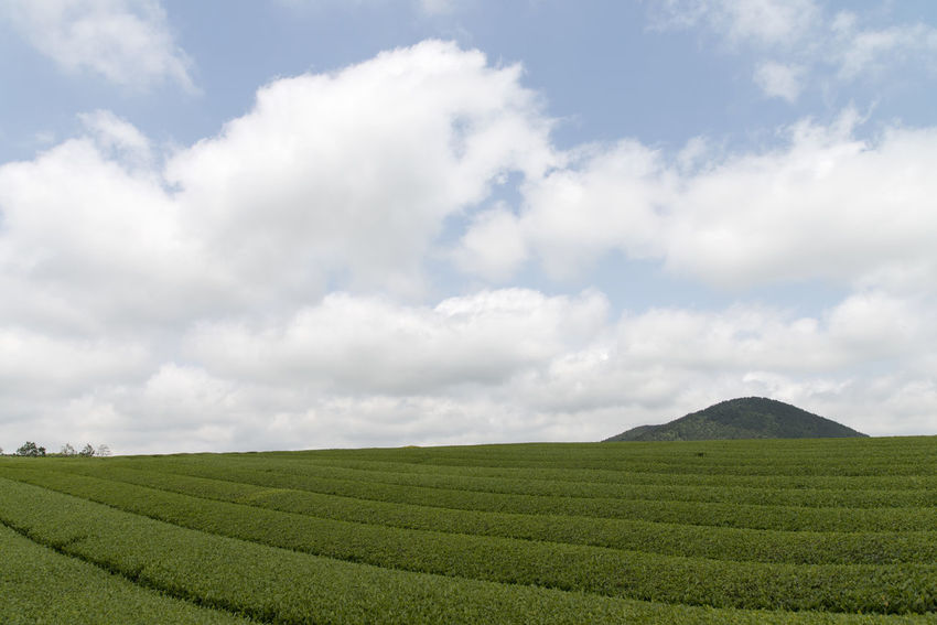 landscape of green tea field at Osulloc in Jeju Island, South Korea Agriculture Beauty In Nature Cloud - Sky Day Field Freshness Green Tea Growth JEJU ISLAND  Landscape Nature No People Osulloc Outdoors Rural Scene Scenics Sky Tranquil Scene Tranquility