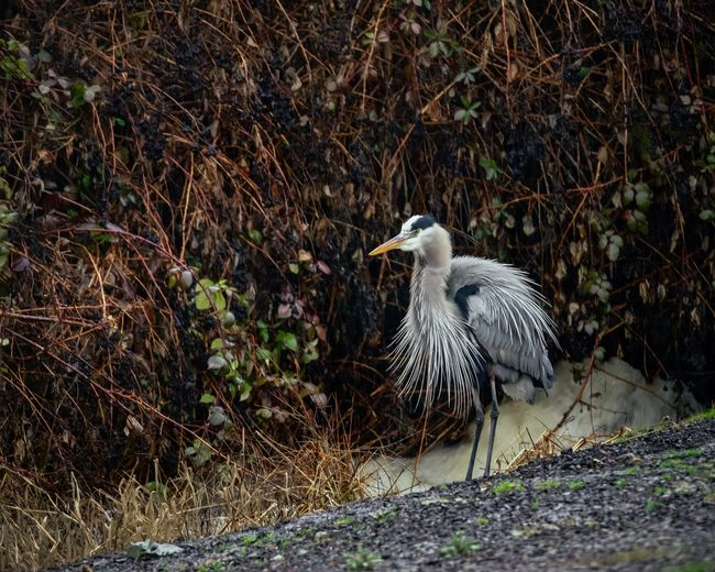 All fluffed up Blue Heron Animal Animals In The Wild Animal Themes Animal Wildlife Vertebrate Bird One Animal Day No People Nature Water Tree Land Outdoors Side View