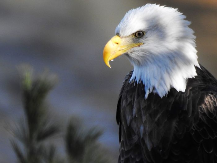 Bald Eagle Eagle In A Tree Bird Of Prey Eagle Angry Eagle Beak Eagle Bird Eagle Head Eagle Portrait