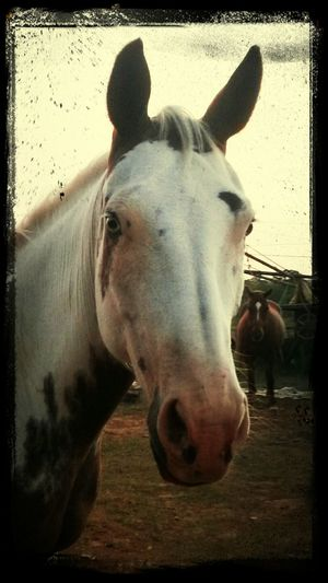 I Love My Horse Horse My Horse Painthorse