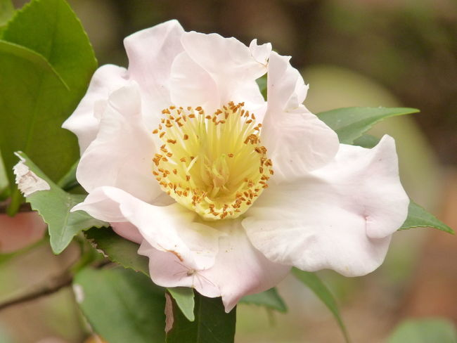 Camellia Camellia Camellia Japonica Beauty In Nature Camellia Flower Camellia Flowers Close-up Flower Flower Head Flowering Plant Focus On Foreground Fragility Freshness Growth Inflorescence Leaf Nature No People Petal Plant Plant Part Pollen Vulnerability  White Color