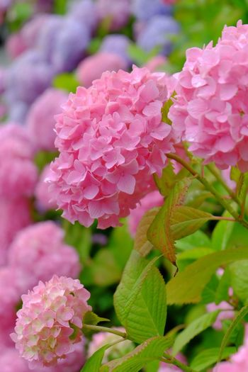 紫陽花 Flower