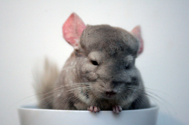 Chinchilla Animal Animal Body Part Animal Head  Animal Themes Close-up Domestic Domestic Animals Fluffy Focus On Foreground Indoors  Mammal No People One Animal Pets Rabbit - Animal Rodent Studio Shot Vertebrate Wall - Building Feature Whisker White Color