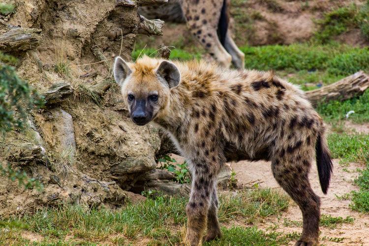 Hyäne Cheetah