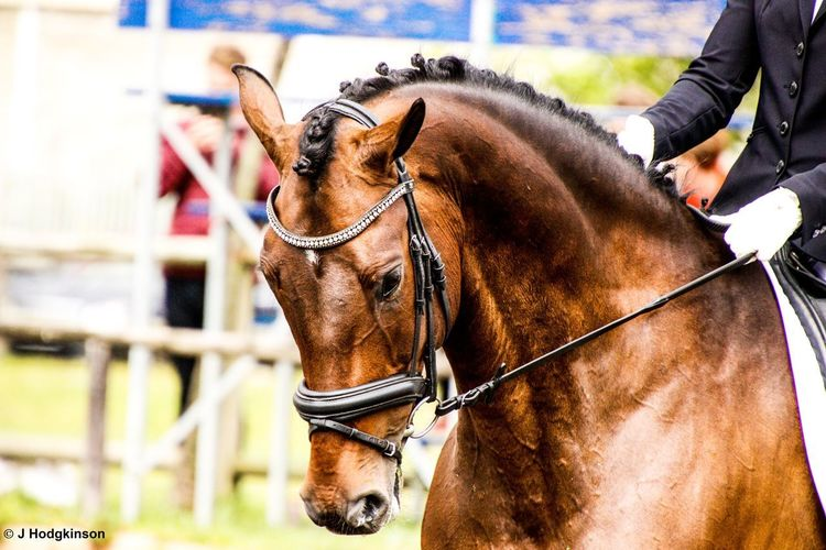 EyeEm Selects Dressage Competition Dressage Dressagehorse Close-up Outdoors Day Canon80d Tamron 18-400mm Horse Nature Afternoon