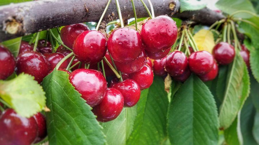 Showcase July Cherries Cherry Picking Cherry Farm Red Cherry In The Rain